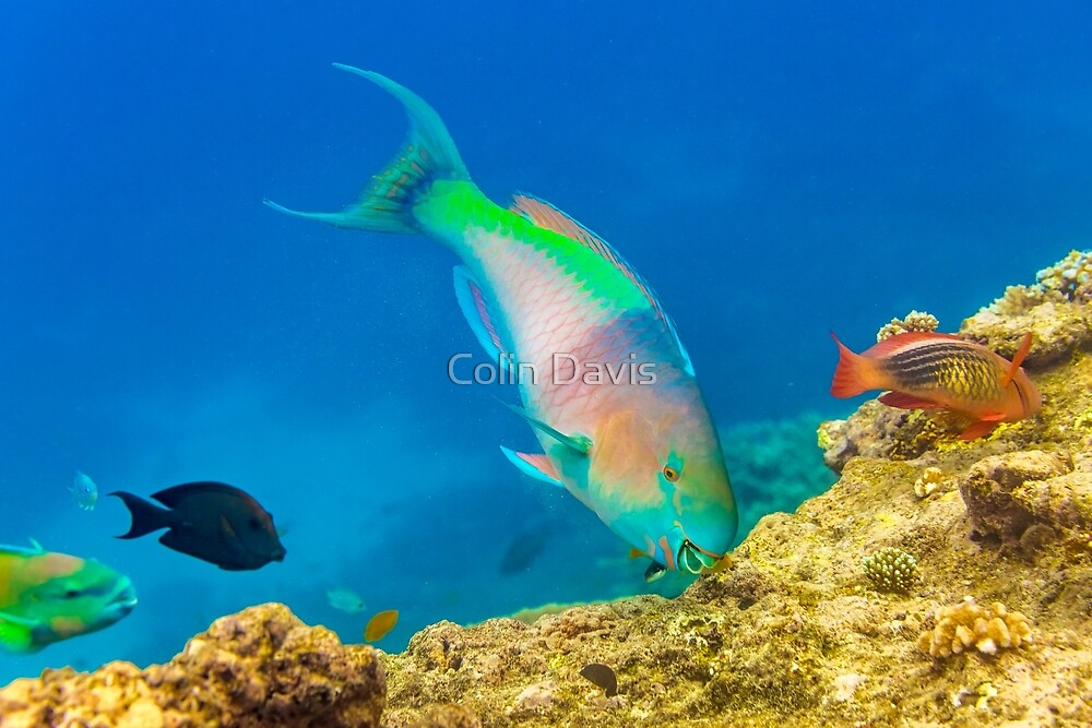 Parrot Fish by Colin Davis