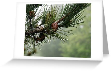 Pine Cones and Dew by Barry Doherty