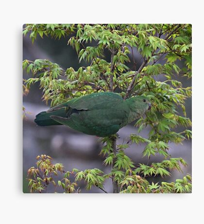 Female Australian King Parrot  Canvas Print