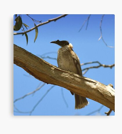 Noisy Friar Bird Canvas Print