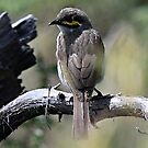 White-faced Honeyeater by Toradellin
