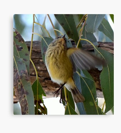Striated Thornbill Canvas Print