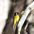 White-eared Honeyeater by Toradellin