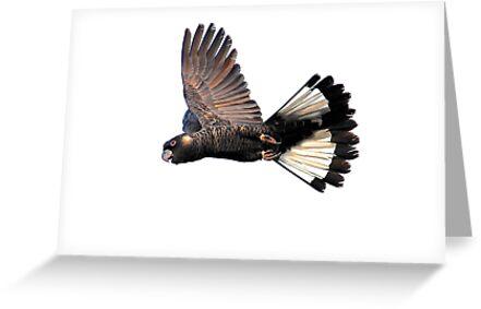 Male Carnaby's in flight by margowen