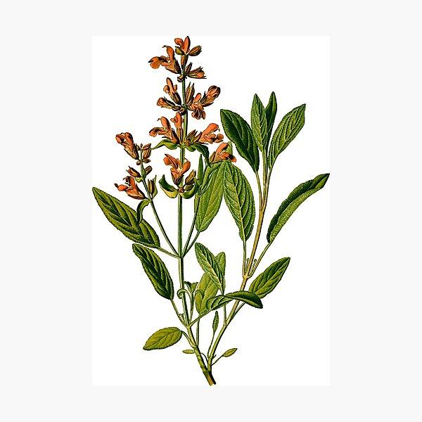 Medicine perennial plant sage Photographic Print