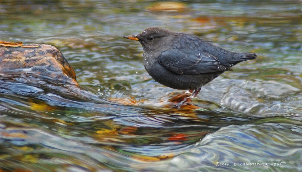 water ouzel, american dipper in stream by R Christopher  Vest