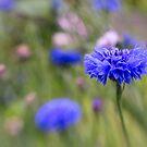 Cornflower by OpalFire