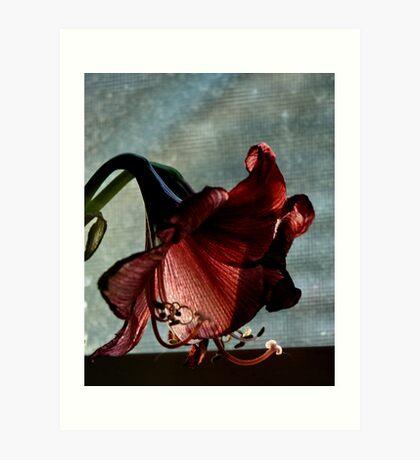Faded Amaryllis Art Print