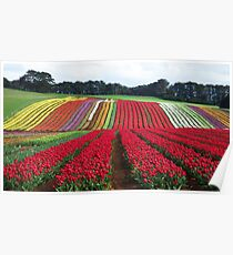 Tulips at Table Cape Poster
