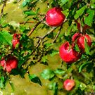 Late Summer Apples by kenmo