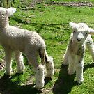 Spring is sprung - the lambs it's brung.........! by Roy  Massicks