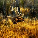 Bull Elk in Montana by Donna Ridgway