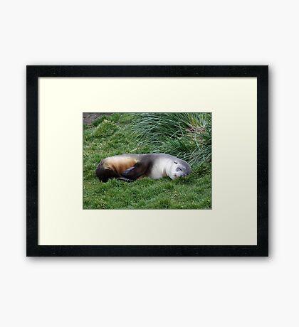 Sleepy Seal Framed Print