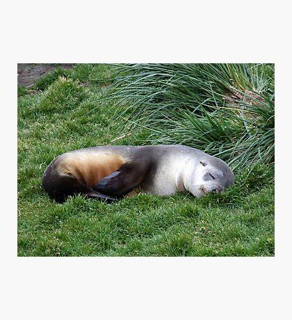 Sleepy Seal Photographic Print