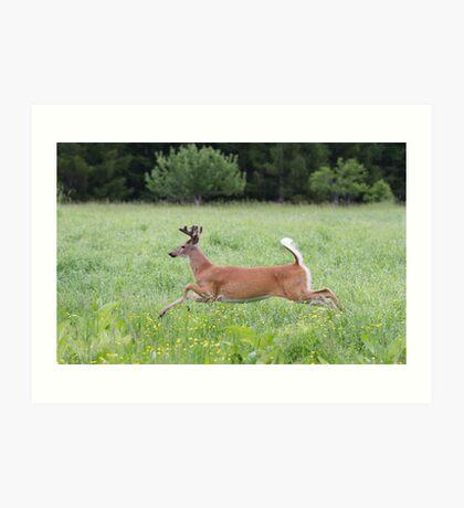 White-tailed deer in flight Art Print