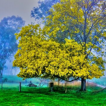 Golden Acacia Wattle Tree in Full Bloom by sjphotocomau