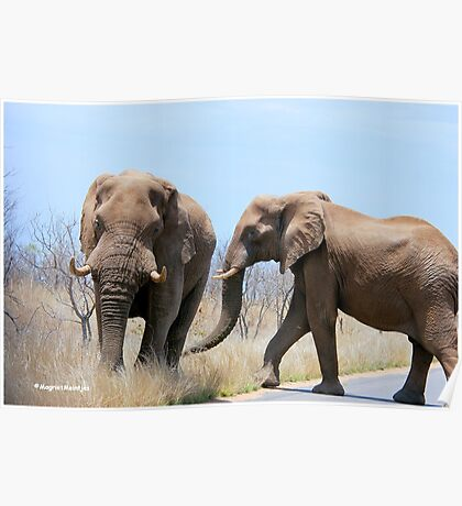 CONFRONTATIONS -  THE AFRICAN ELEPHANT – Loxodonta Africana Poster