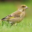 Greenfinch.....our garden visitor by Kathy Reid