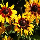 YELLOW AND RED SUNFLOWERS, SEEDS AND PETALS by Nicola Furlong