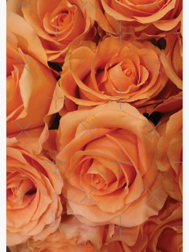 Sunset Rose Closeup by jhennetylerb