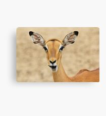 Impala Fun - Wildlife Humor from Africa.  Canvas Print