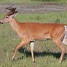 White-tailed deer with velvet antlers in spring by Jim Cumming