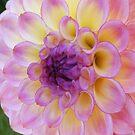 PURPLE DAHLIA FLOWER PETALS by Nicola Furlong