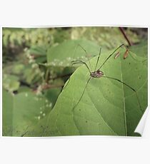 Daddy Long Legs Supermacro Poster