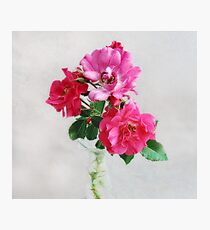 Three Old Fashioned Roses Photographic Print