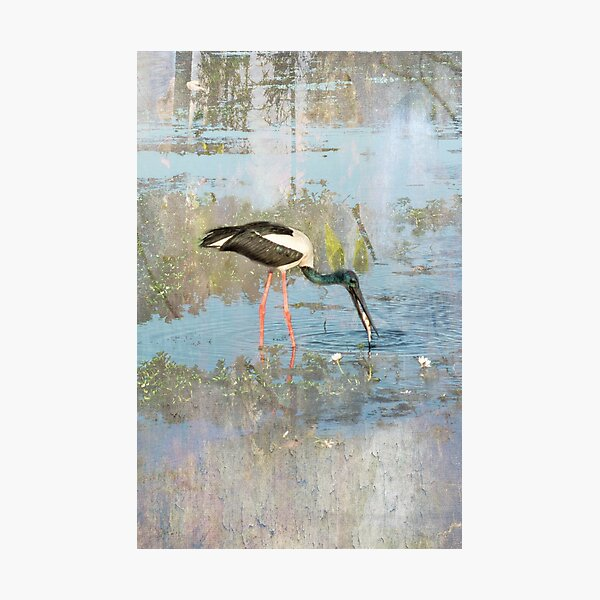 Jabiru Photographic Print