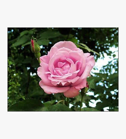 Pink Rose and Buds Photographic Print
