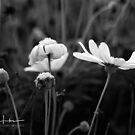 Black and white Daisy by samhicks