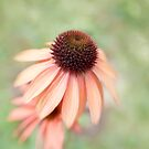 Echinacea by Ellesscee