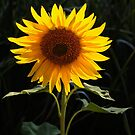 A sunflower greets the morning sun by David Chesluk