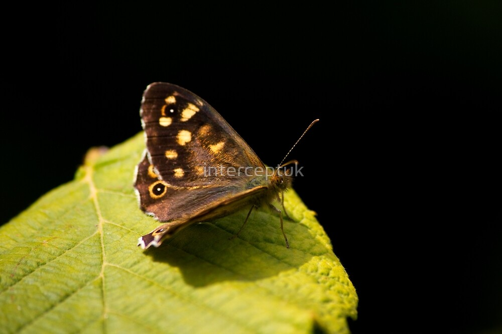 Butterfly On Leaf by interceptuk