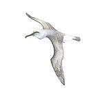 Buller's Albatross  by avirens