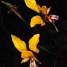 beautiful pansy orchid pair Diuris magnifica by peterbeaton