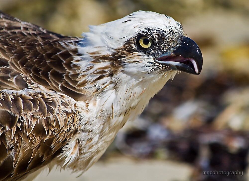 Osprey - Pandion Haliaetus by mncphotography