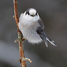 Gray Jay - Algonquin Park by Jim Cumming