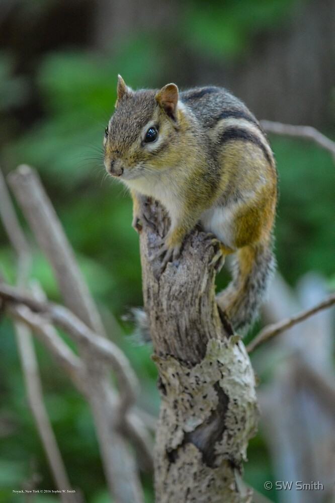 Tamias Minimus - Least Chipmunk | Noyack, New York by © Sophie W. Smith