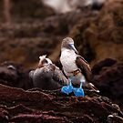 Blue-Footed Booby by Paul Wolf