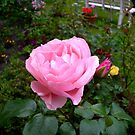 Pink Rose by Heidi Mooney-Hill