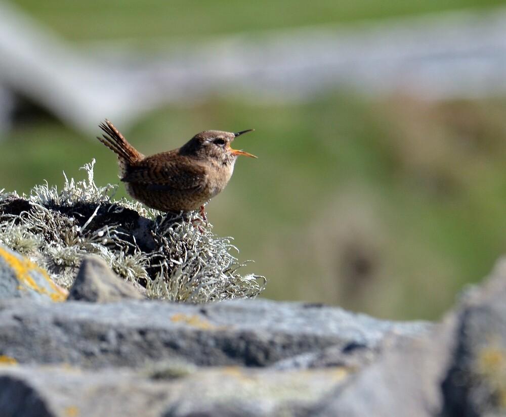 Shetland Wren - Troglodytes troglodytes zetlandica by Chris Monks