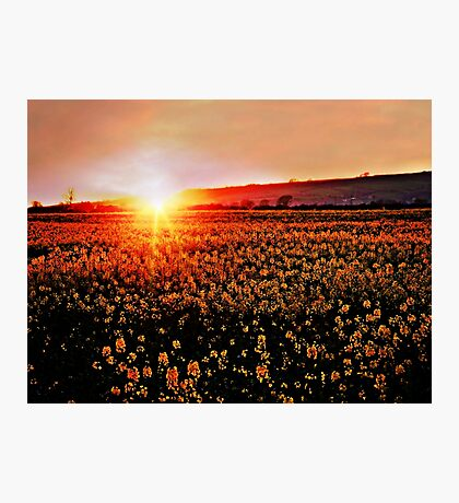 Rapeseed Flowers at Sunset Photographic Print