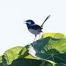 Superb fairy-wren by Janette Rodgers