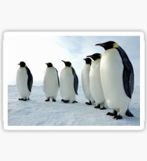 Lined up Emperor Penguins Sticker