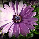 Osteospermum - Blue eyed African daisy by bubblehex08