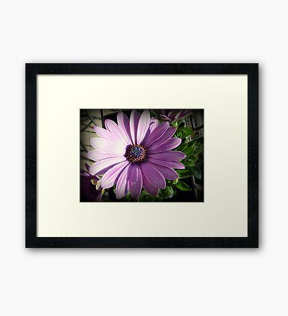 Osteospermum - Blue eyed African daisy Framed Print