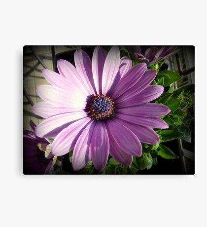 Osteospermum - Blue eyed African daisy Canvas Print