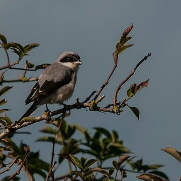 Lesser Grey Shrike by Grandalf